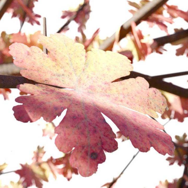 Preview render of the PBR texture Autumn Leaf 01