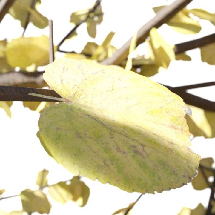 Preview render of the PBR texture Autumn Leaf 04