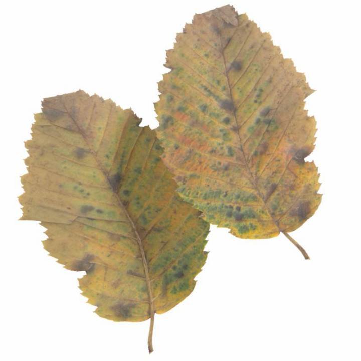 Preview render of the PBR texture Autumn Leaf 06