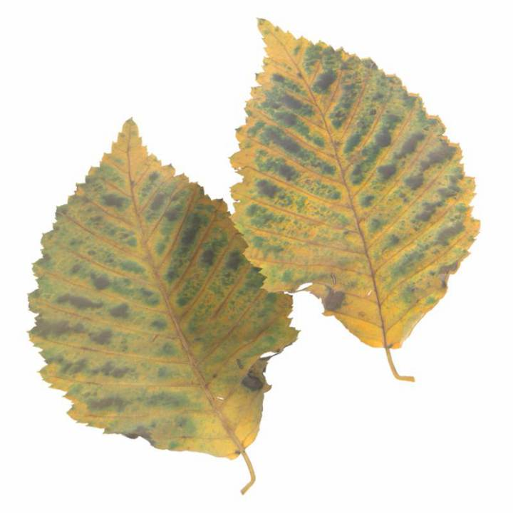 Preview render of the PBR texture Autumn Leaf 07