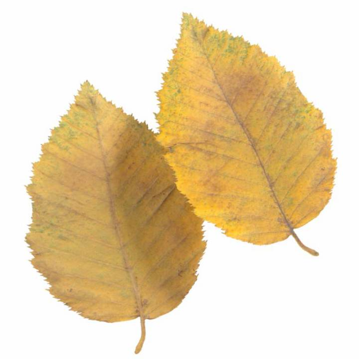 Preview render of the PBR texture Autumn Leaf 08