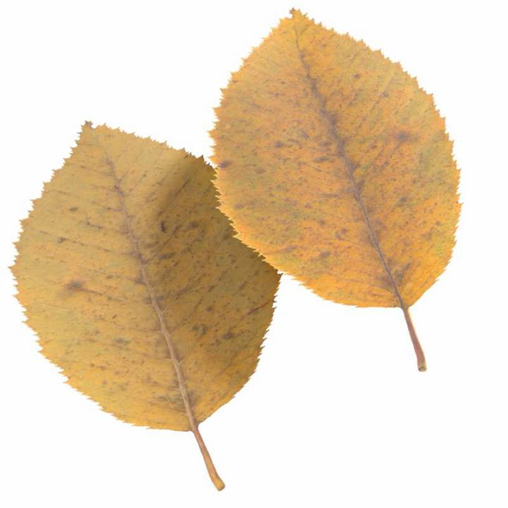 Preview render of the PBR texture Autumn Leaf 09