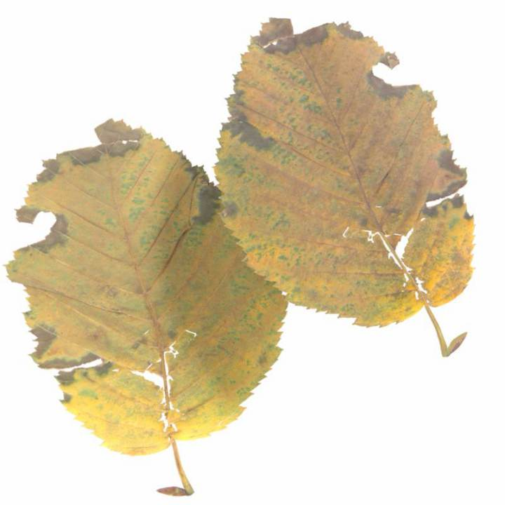 Preview render of the PBR texture Autumn Leaf 10