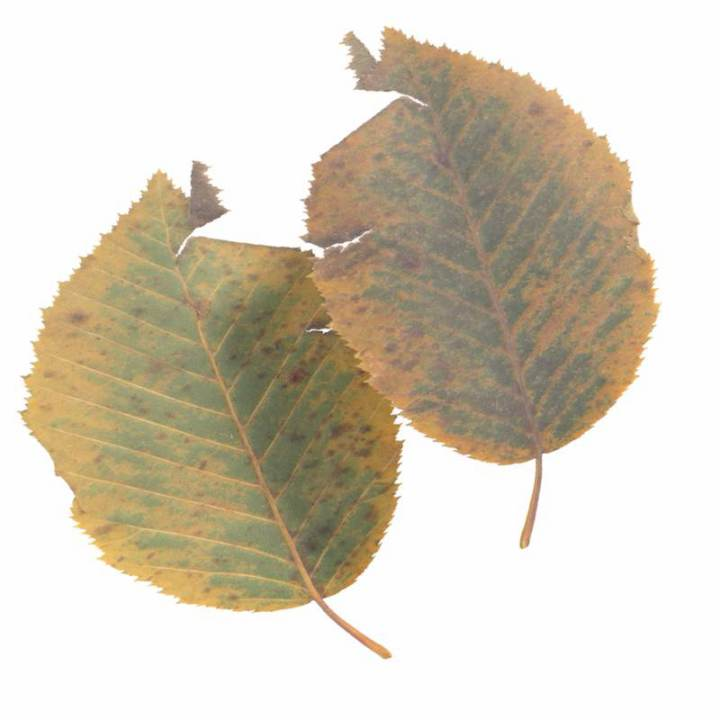 Preview render of the PBR texture Autumn Leaf 11