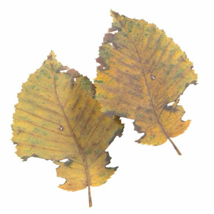 Preview render of the PBR texture Autumn Leaf 12