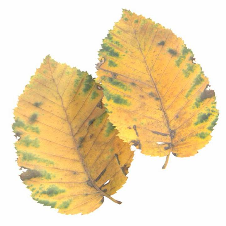 Preview render of the PBR texture Autumn Leaf 13