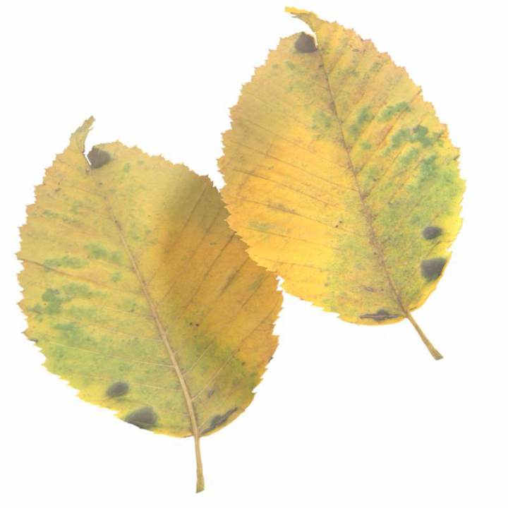 Preview render of the PBR texture Autumn Leaf 14