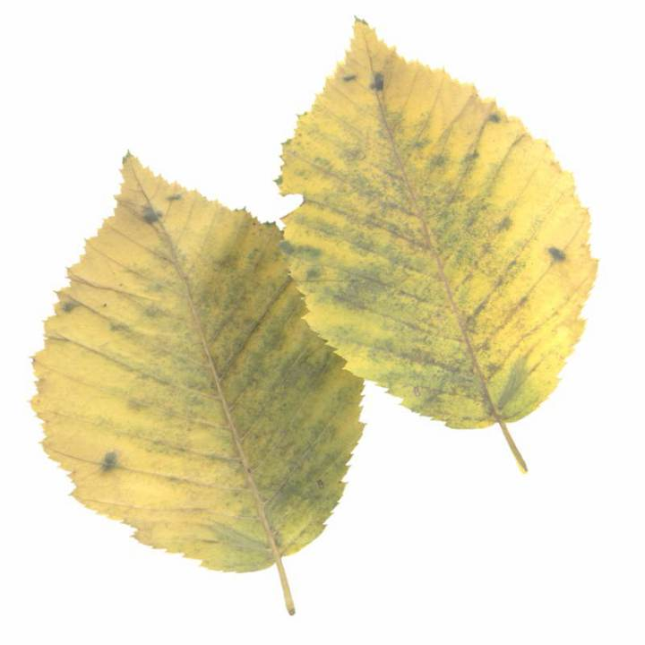 Preview render of the PBR texture Autumn Leaf 15