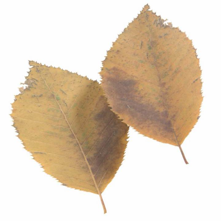 Preview render of the PBR texture Autumn Leaf 18