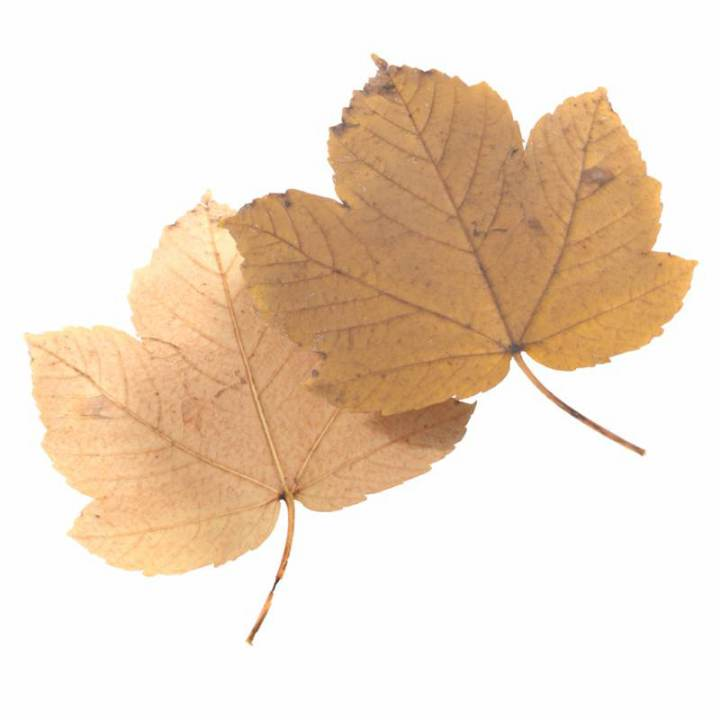 Preview render of the PBR texture Autumn Leaf 25