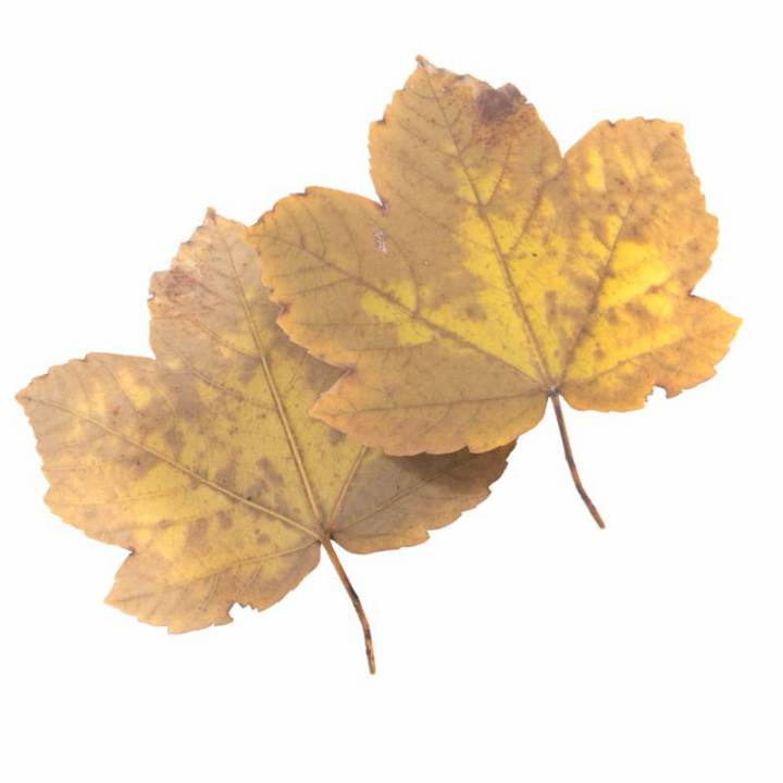 Preview render of the PBR texture Autumn Leaf 26