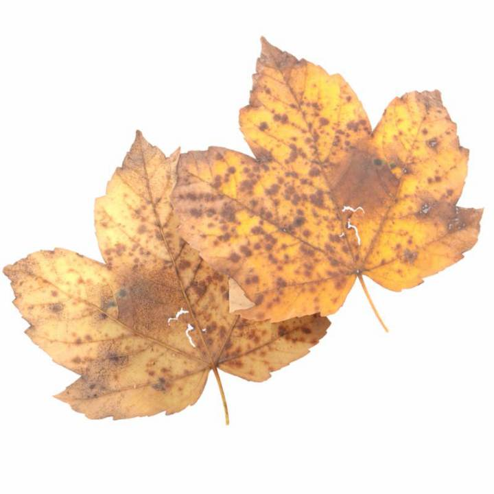 Preview render of the PBR texture Autumn Leaf 27