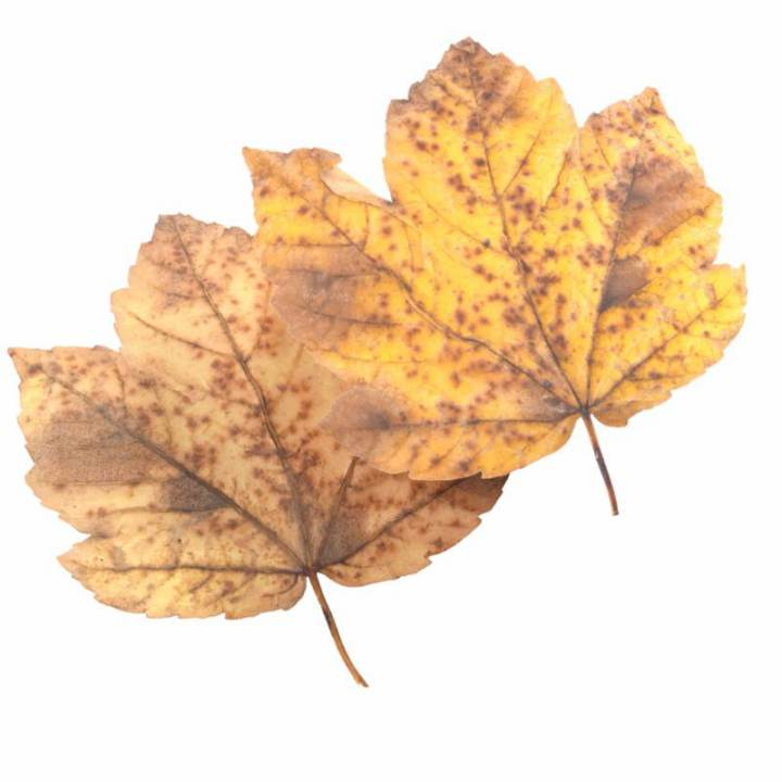 Preview render of the PBR texture Autumn Leaf 28