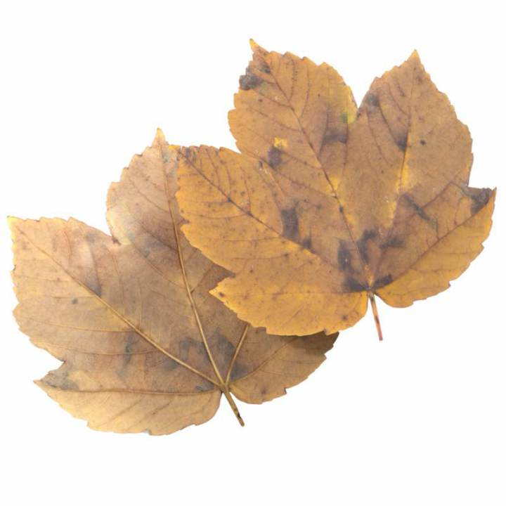 Preview render of the PBR texture Autumn Leaf 29