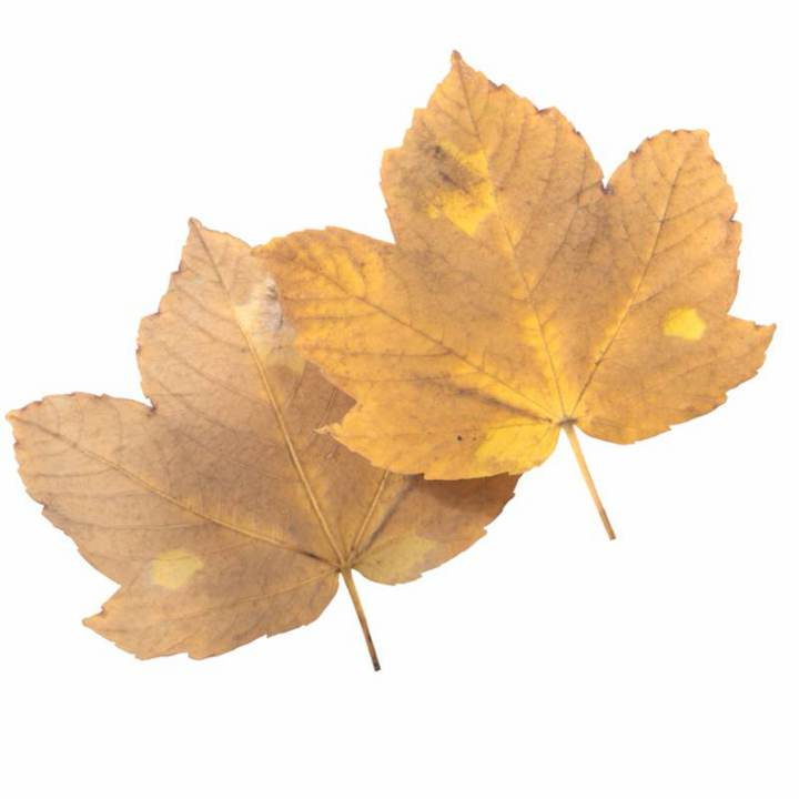 Preview render of the PBR texture Autumn Leaf 30