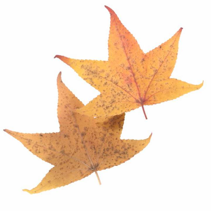 Preview render of the PBR texture Autumn Leaf 31