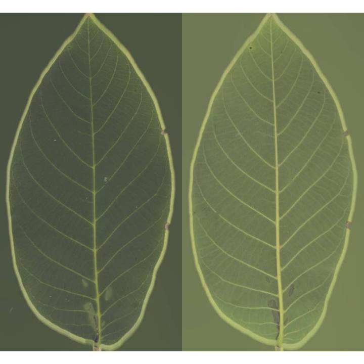 preview render of the free PBR material Bush Leaf 03 (cc0 texture)
