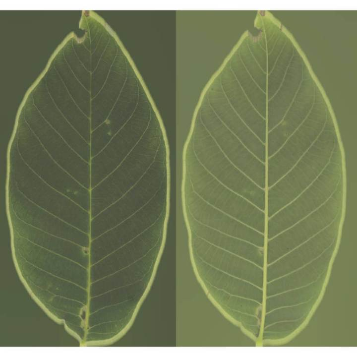 Preview render of the PBR texture Bush Leaf 04