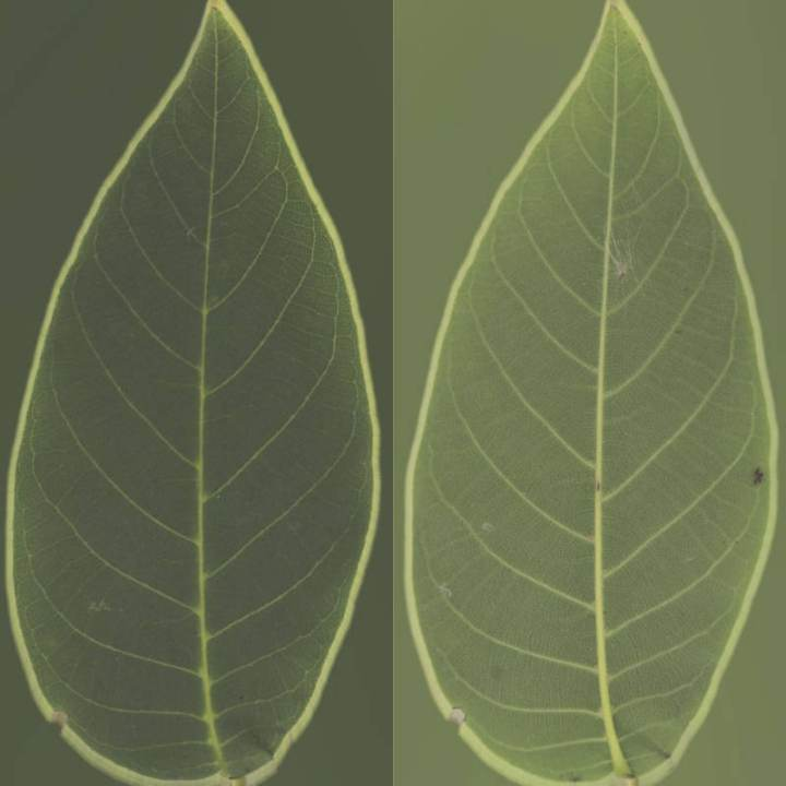 Preview render of the PBR texture Bush Leaf 05